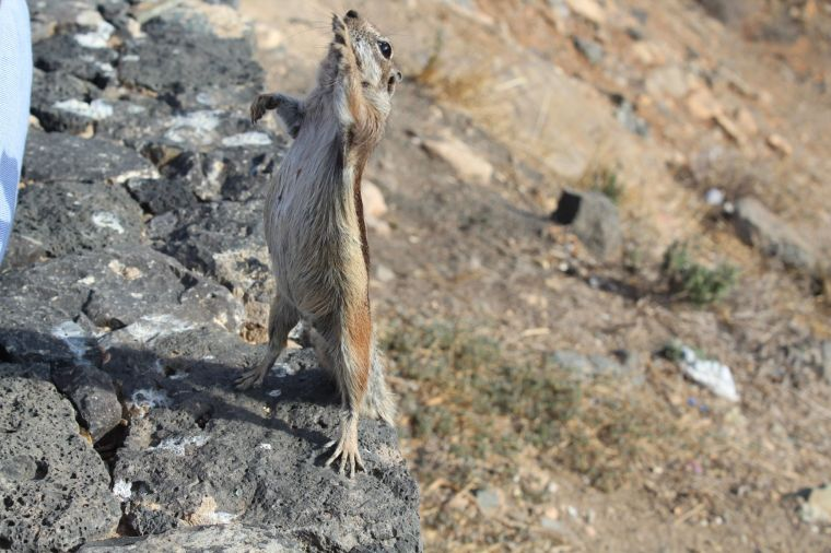 F - lo scoiattolo berbero tipico dell'isola